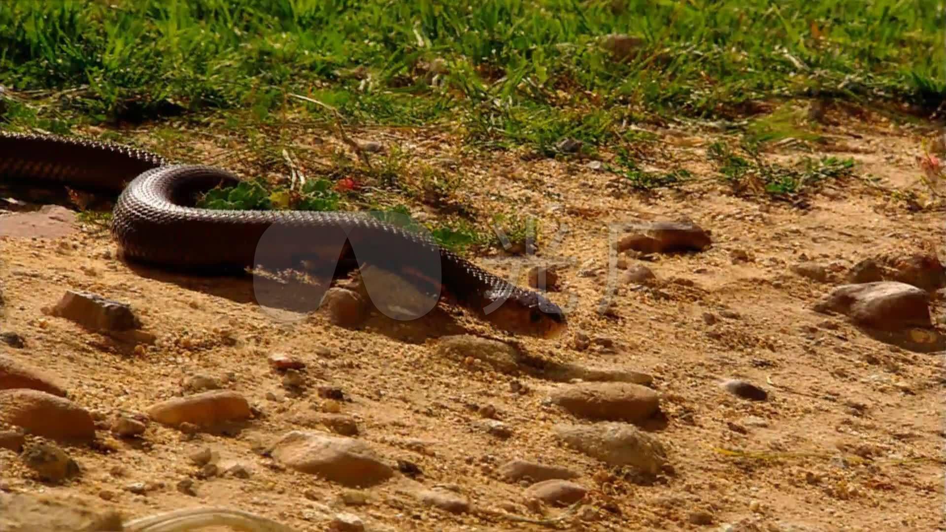 居民区的眼镜蛇_1920x1080_高清视频素材下载(编号:)