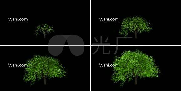 大树生长视频(带通道)