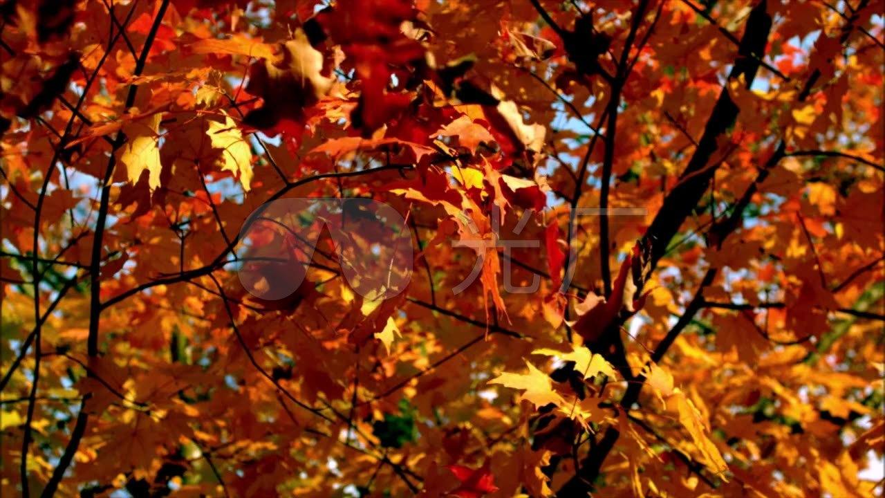 秋天落叶慢镜头_1280x720_高清视频素材下载(编号:)图片