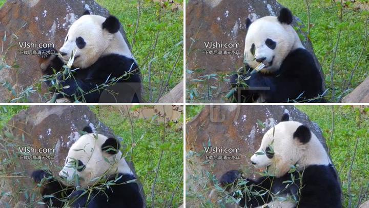 可爱熊猫宝宝动物园吃竹子竹叶