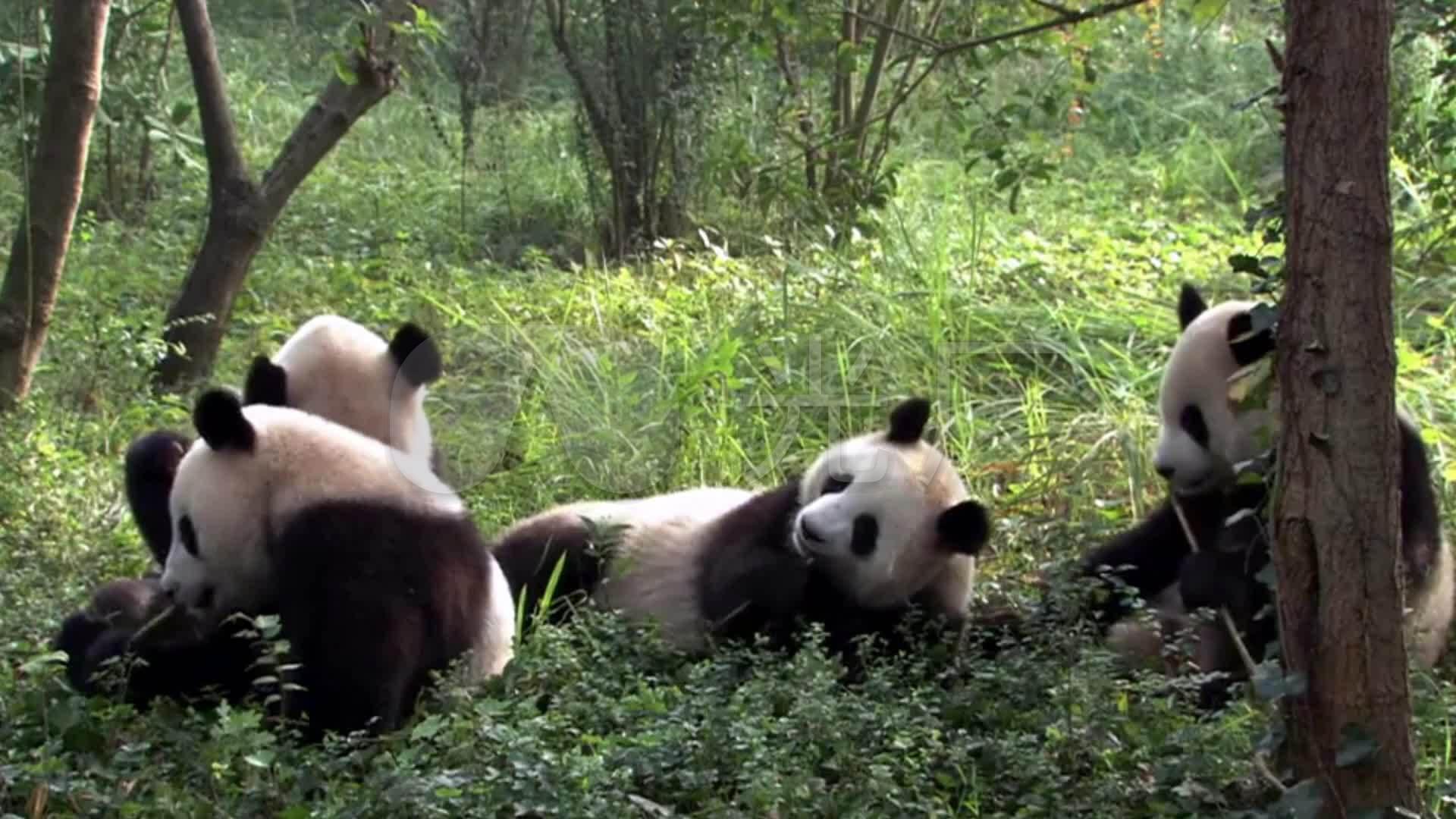 大熊猫吃儿童素材_1920X1080_儿童视频视频竹子高清视频图片