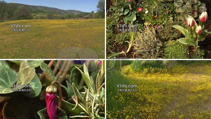 滿山鮮花自然風光 實拍大自然風景 植物生長 風景背景