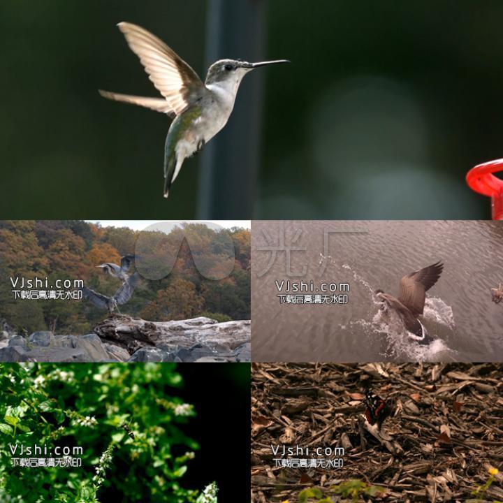 鸽子动物蜜蜂鸟慢动作慢镜头蝴蝶a鸽子