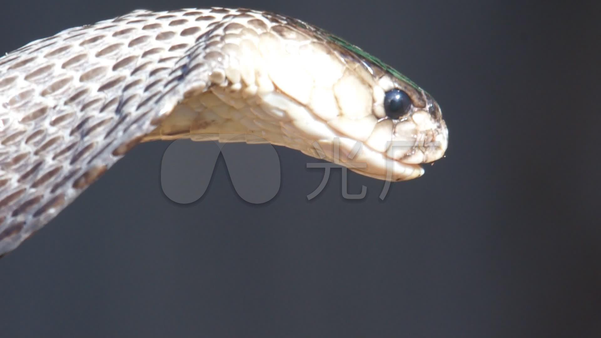 眼镜蛇吐舌头高清实拍_1920x1080_高清视频素材下载