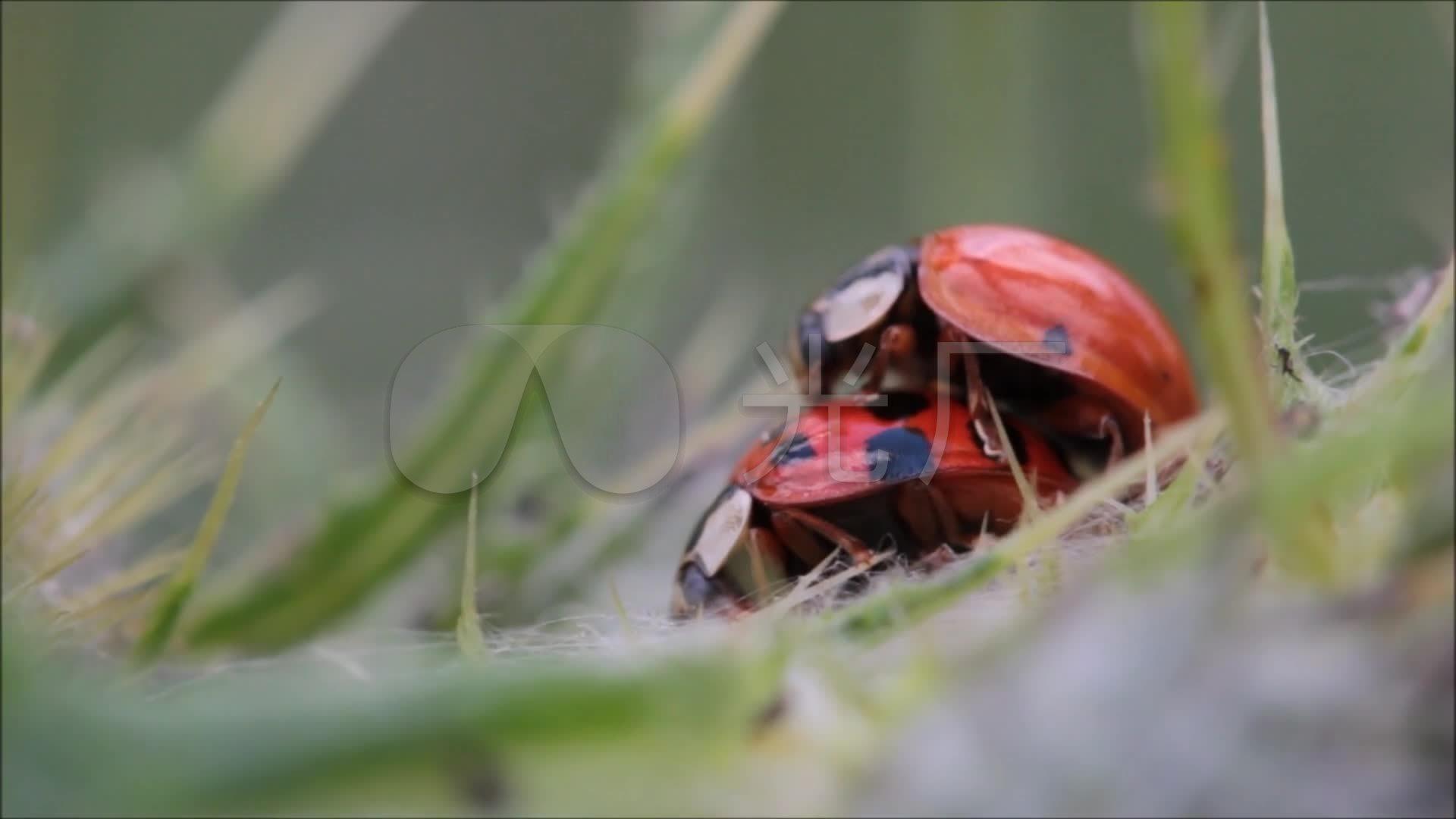 七星瓢虫的交配过程实拍视频素材
