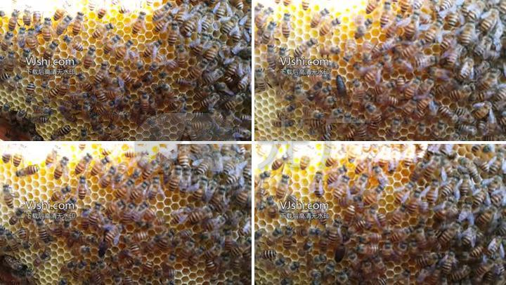 动物蚊子采蜜酿蜜蜂蜜小动物为什么突然招蜜蜂图片