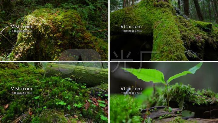 原始森林青苔苔藓树根青山