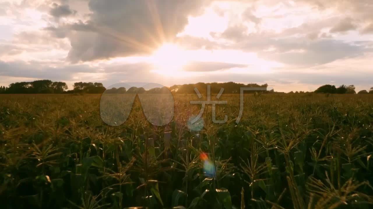 清晨视频玉米田_玉米地阳光素材_1280X720_丸视频冷香图片