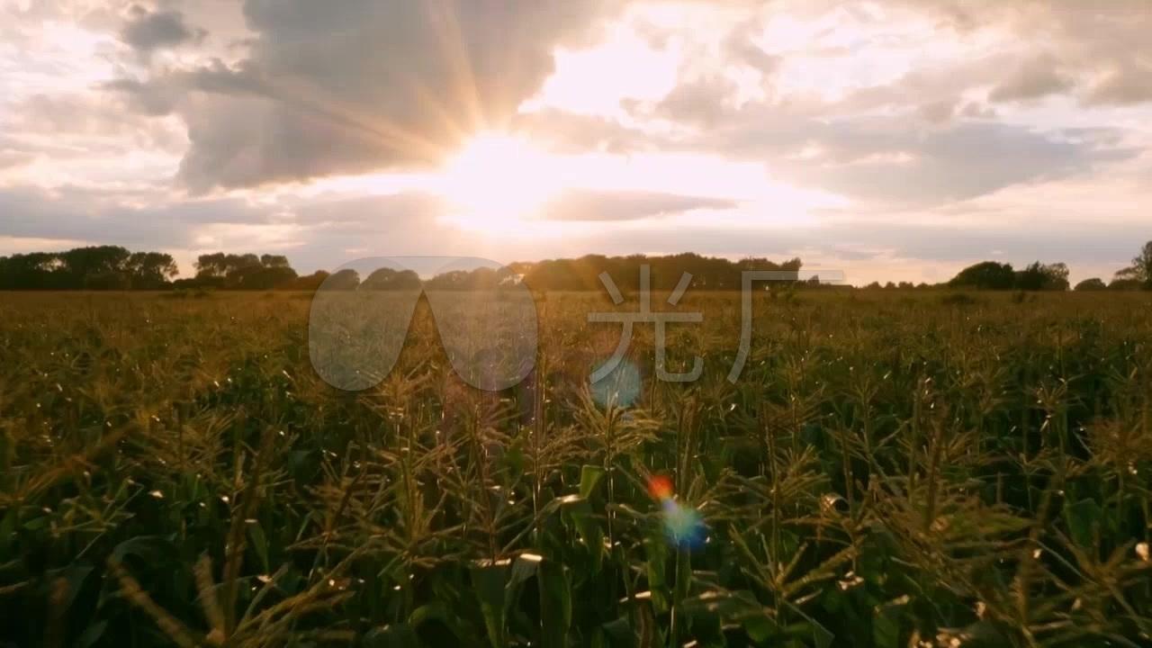 清晨阳光玉米田_玉米地素材视频_1280X720_视频v阳光小猫图片