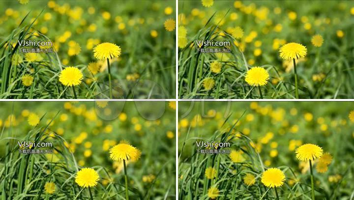 黄色小�{�p_黄色高清蒲公英1080p