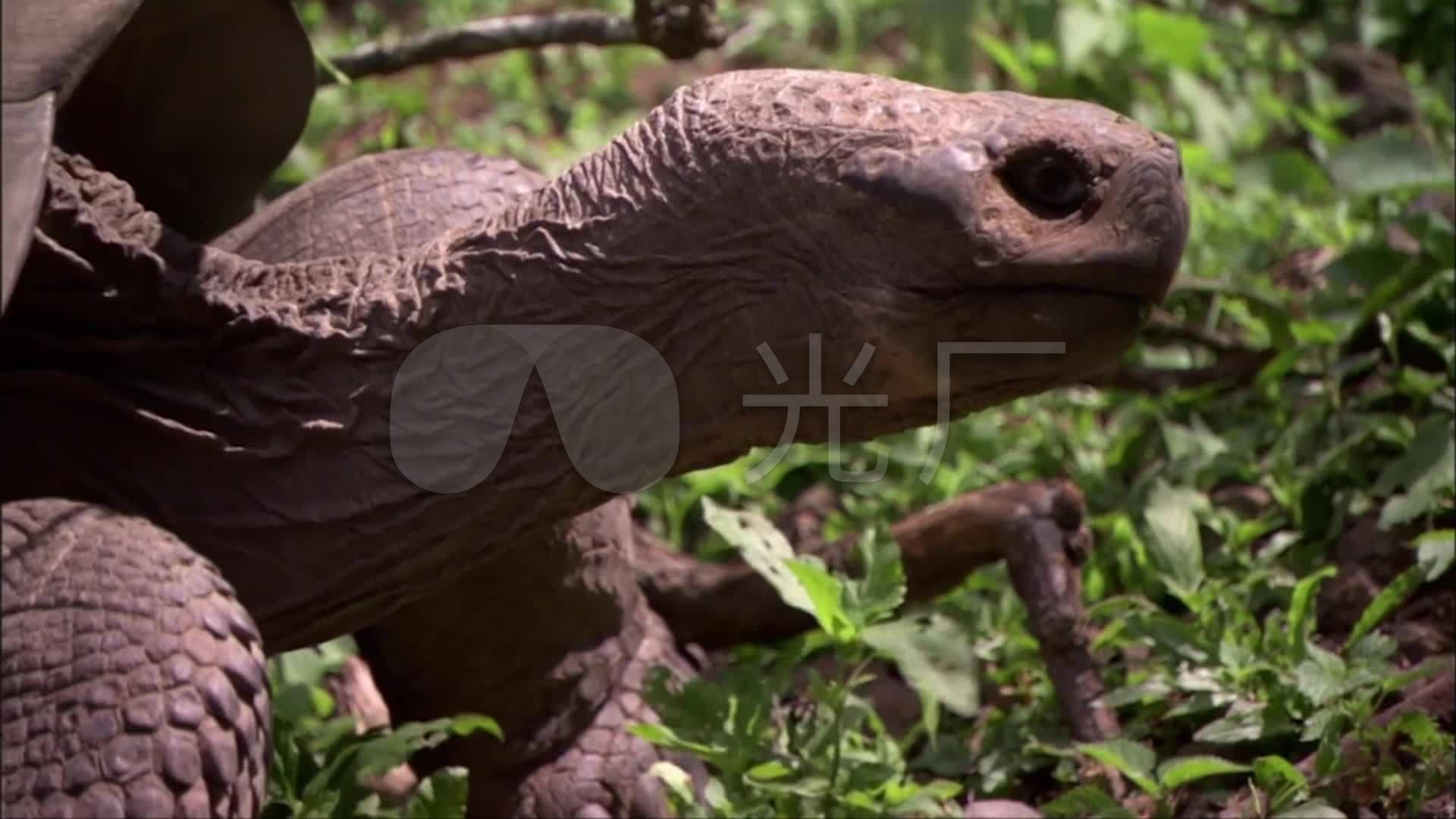 加勒帕格斯群岛象龟_陆上巨龟_1920x1080_高清视频(:)