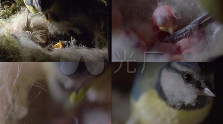 益鸟喂食_雏鸟图片消灭生态_害虫治理灰太狼红太狼山雀合照图片