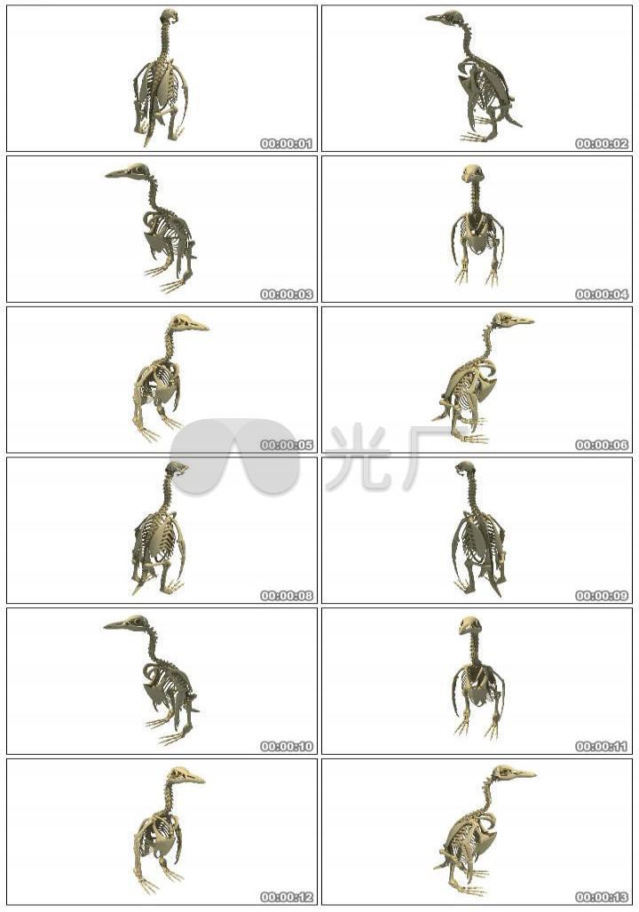 企鹅骨架企鹅企鹅骨骼系统生物研究动物骨架骨骼骨骼系统动物骨骼