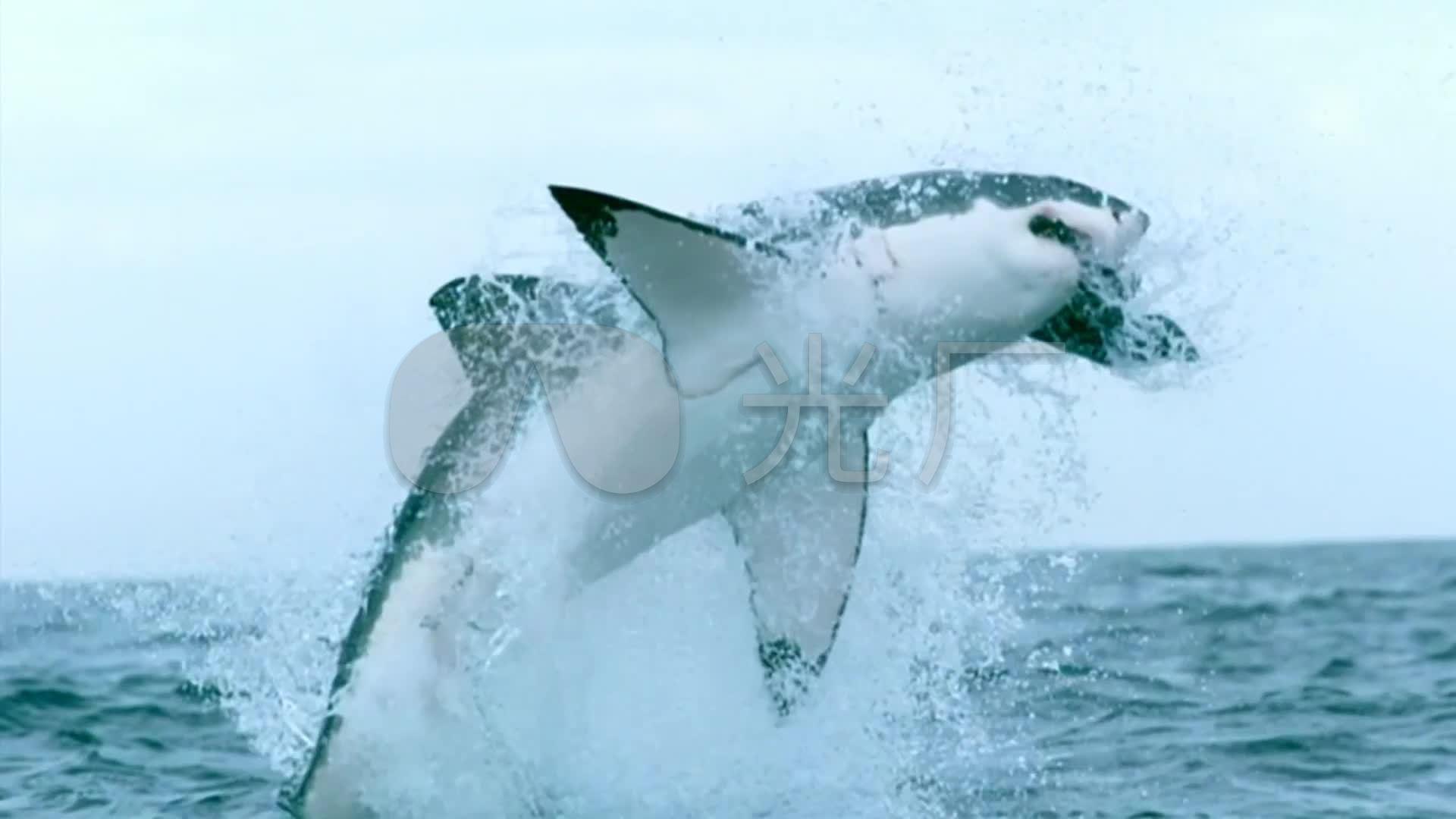 大白鲨跃出海面水面_鲨鱼视频水电_1920X10图素材识视频图片