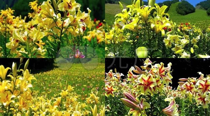大自然美丽风景鲜花绽放高清视频