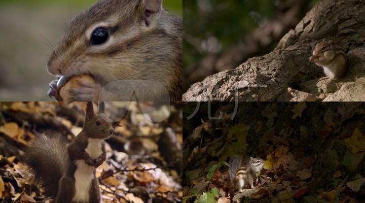 松鼠动物素材_松鼠实拍吃东西觅食_橡果