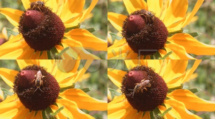向日葵蜜蜂上动物课堂实拍花朵视人教版蜜蜂优秀教案科学面的图片