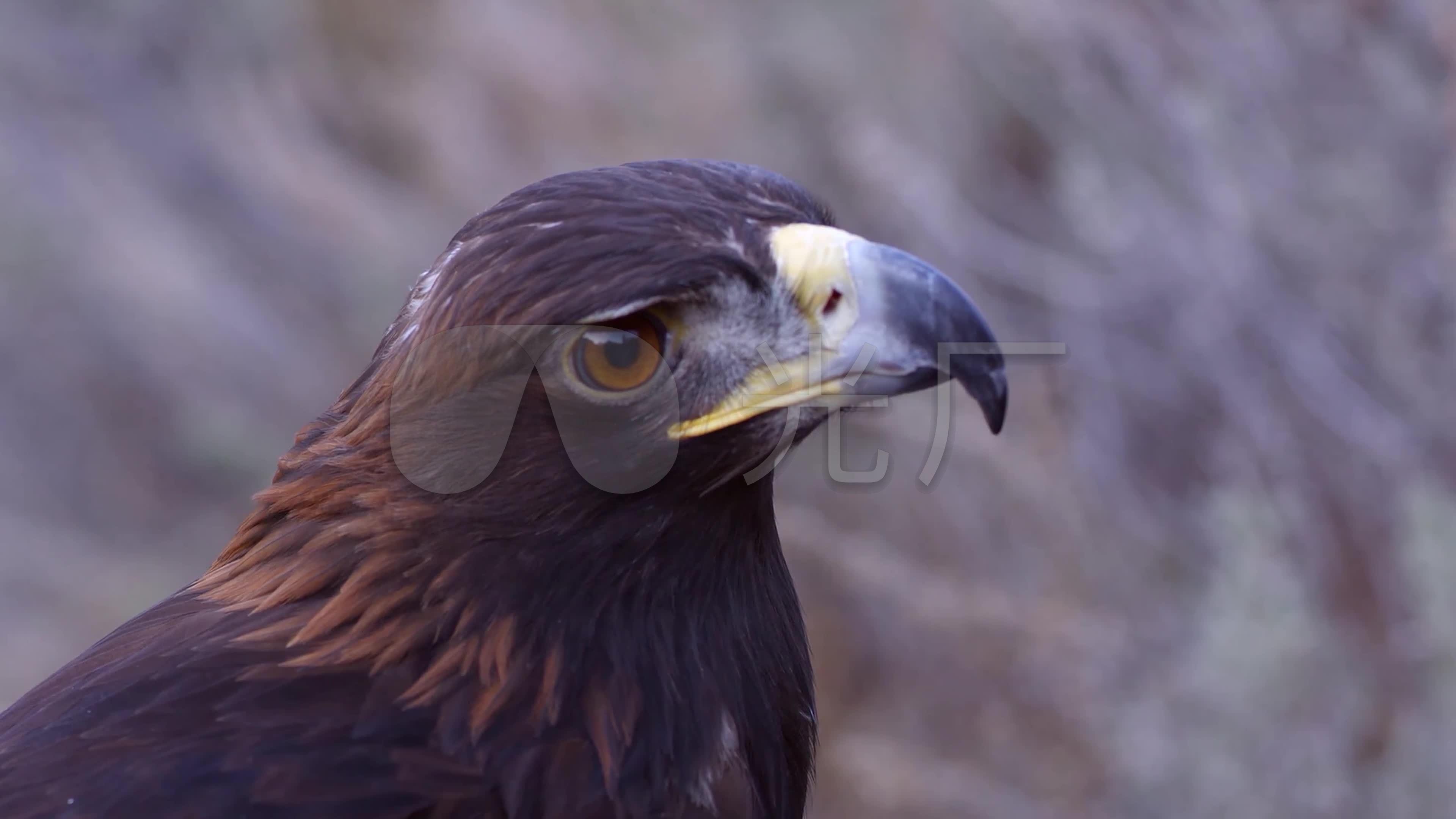 动物鹰4k高清视频