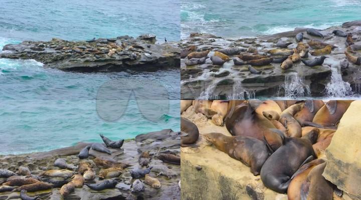 4K实拍海鸟海鸥海豹海狮