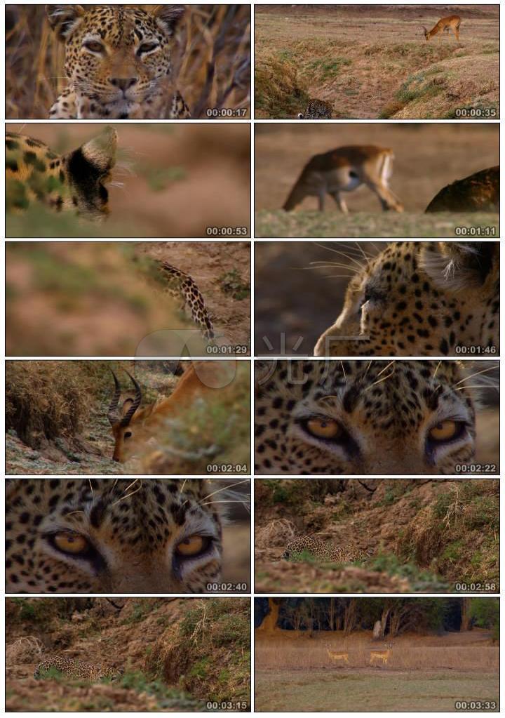 原生态大自然动物猎豹捕猎