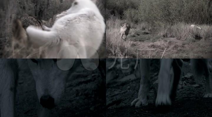 野狼视频素材_嬉戏玩耍打闹_白狼