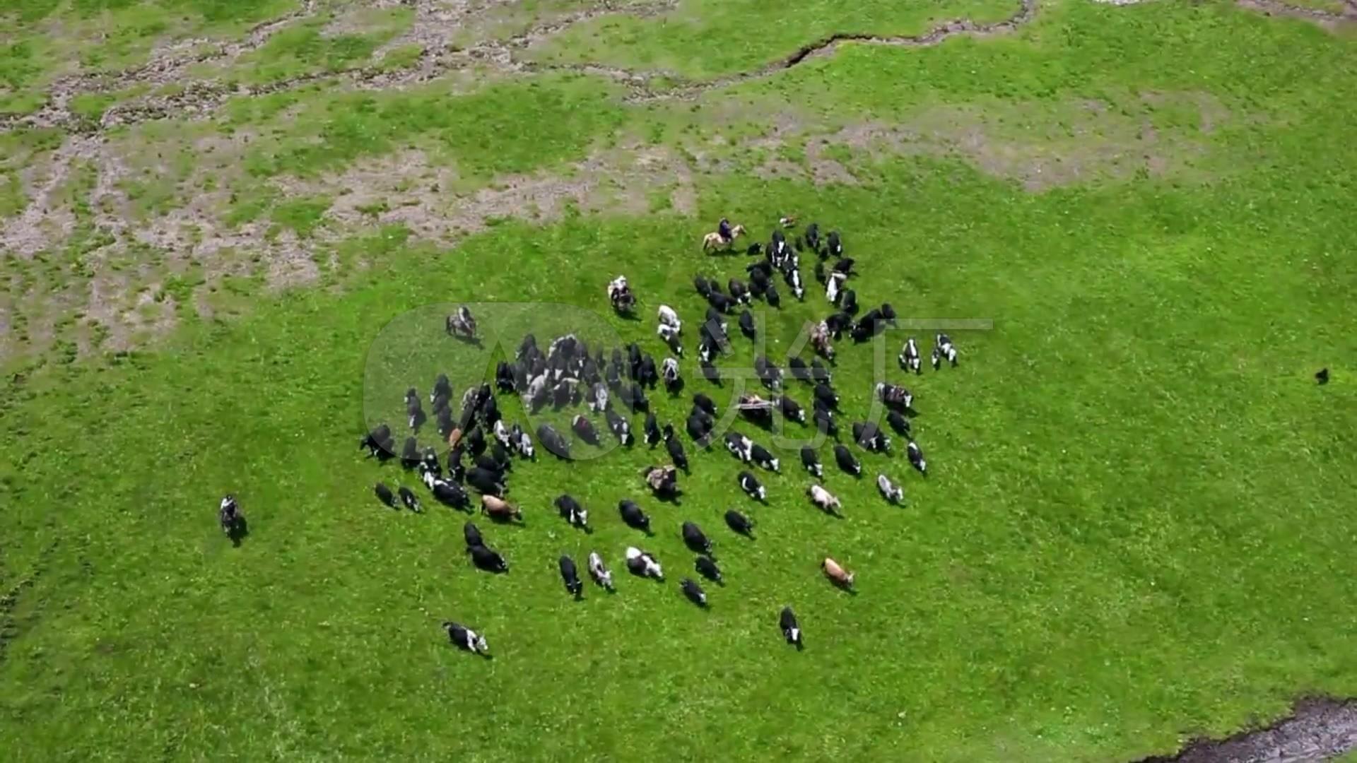 大高清藏族生活草原放牧_1920X1080_牧民视自学德语视频图片