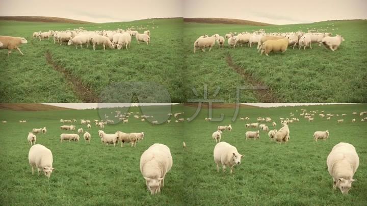 绵羊群吃草奔跑牧场福利_素材草原视频v绵羊_视频草场宅宅图片