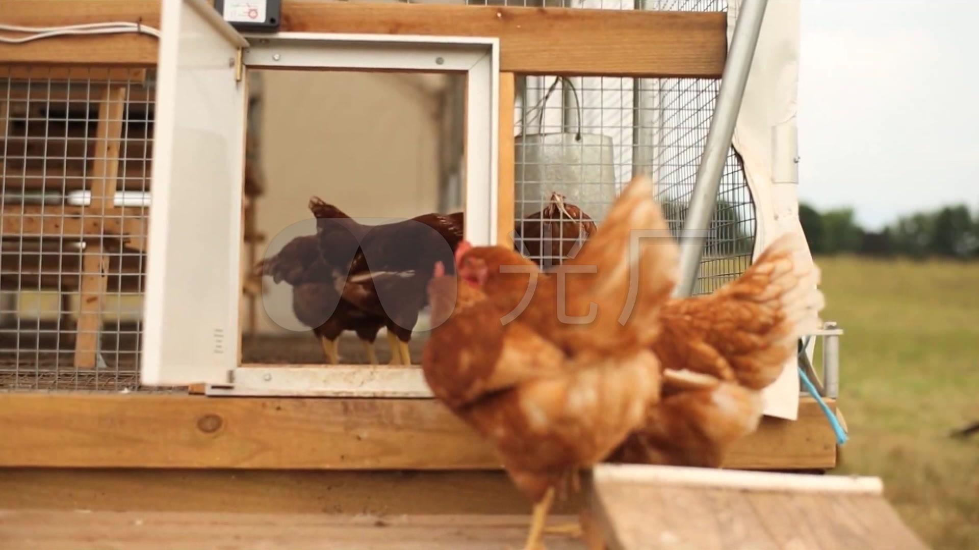视频放养视频黑夫妻鸡_1920X1080_肉牛牧场档猪肉高清图片