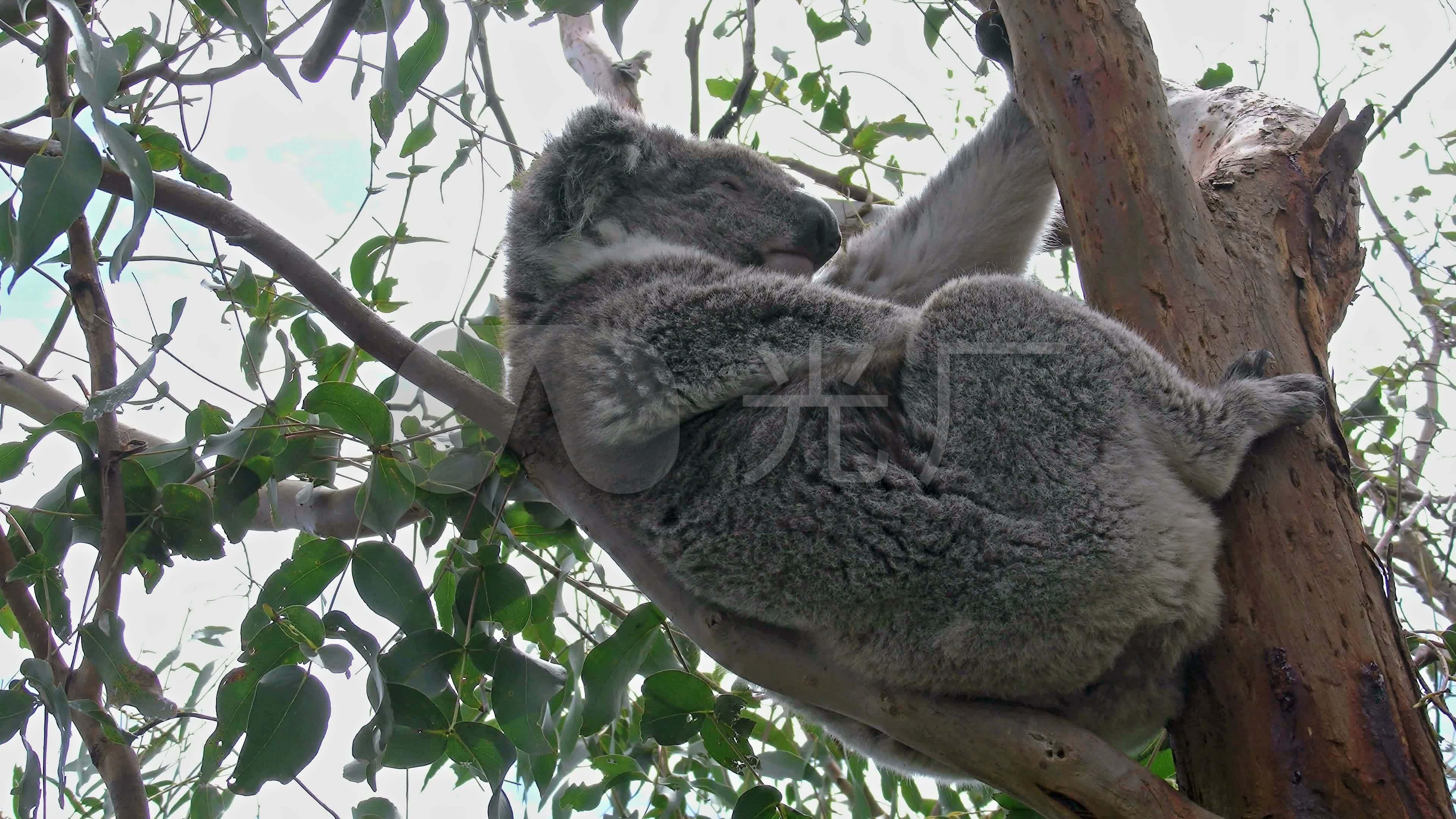 动物树懒考拉澳大利亚国宝澳大利亚_3840x2160_高清