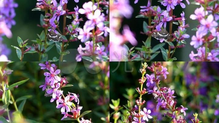 唯美春天野外大自然高清蝴蝶在花朵上采蜜实