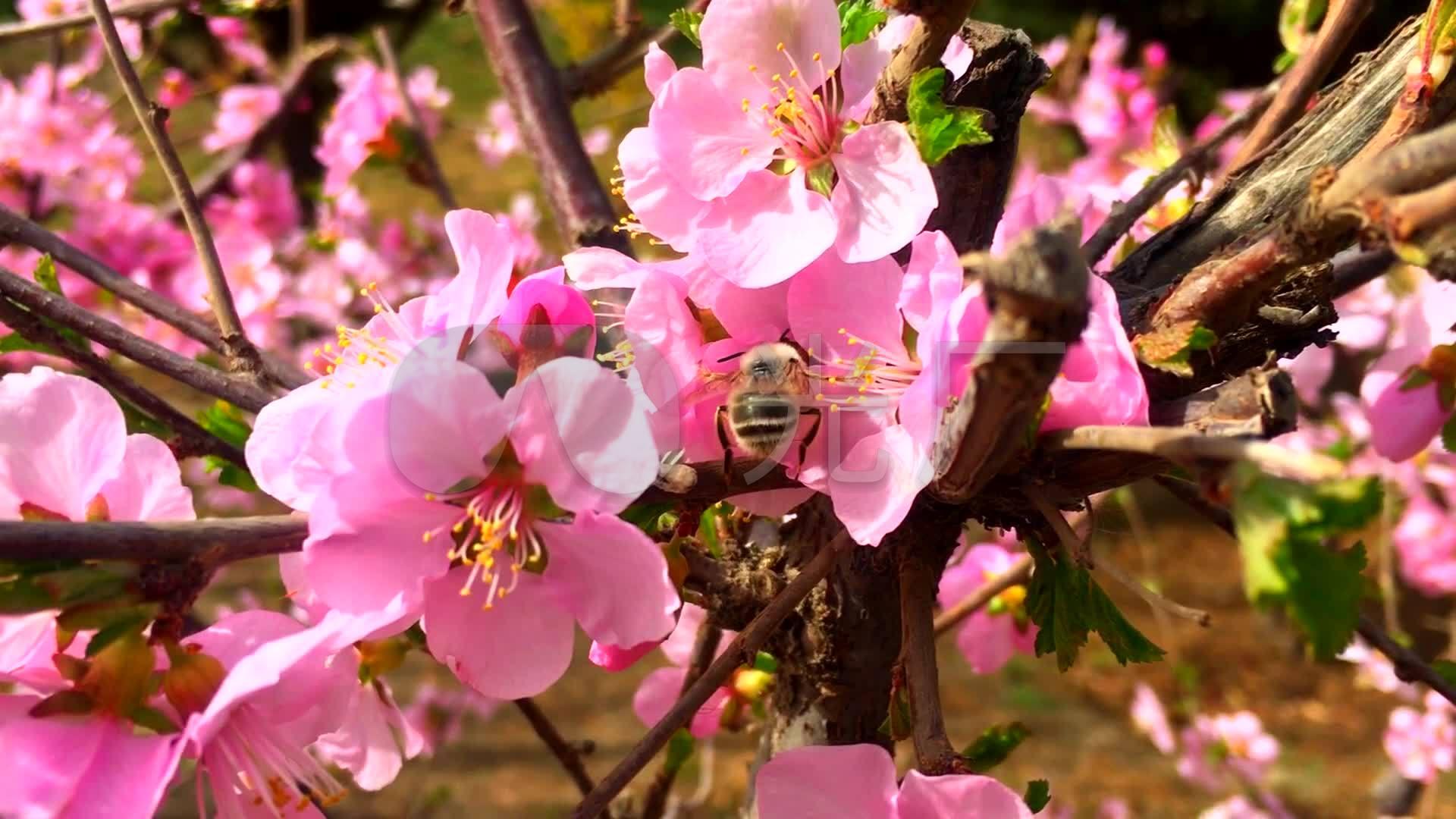 蜜蜂及花蕊春天桃花开了蜜蜂