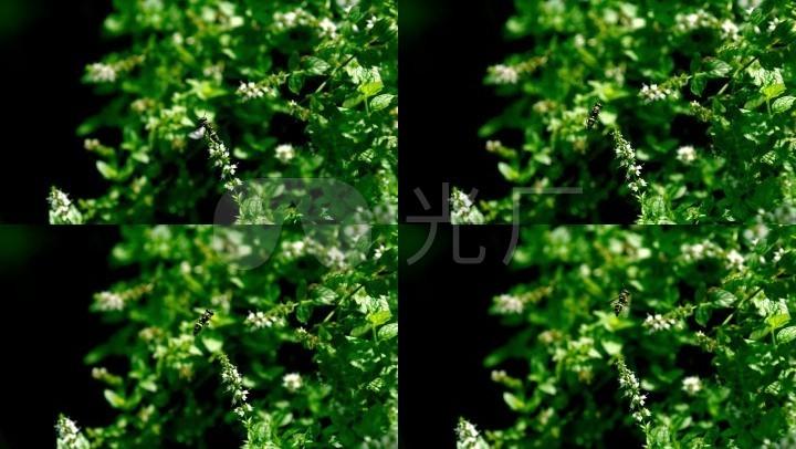 铜币v铜币植物寓意采蜜特写蝙蝠_1920X1080_弥勒佛高速蜜蜂动物图片