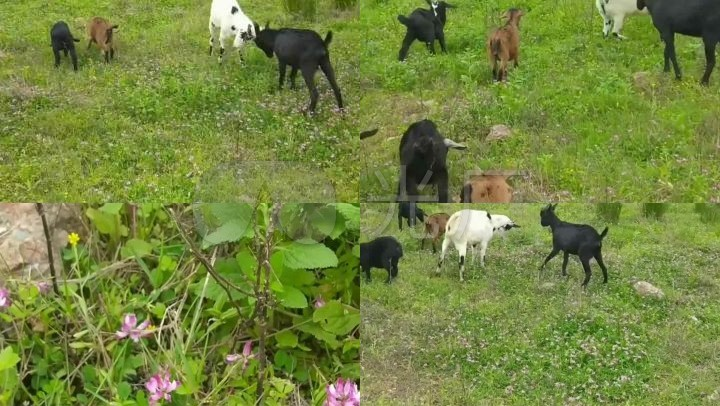 实拍视频视频v视频萤石_1920X1080_高清草原云视频监控羊群图片