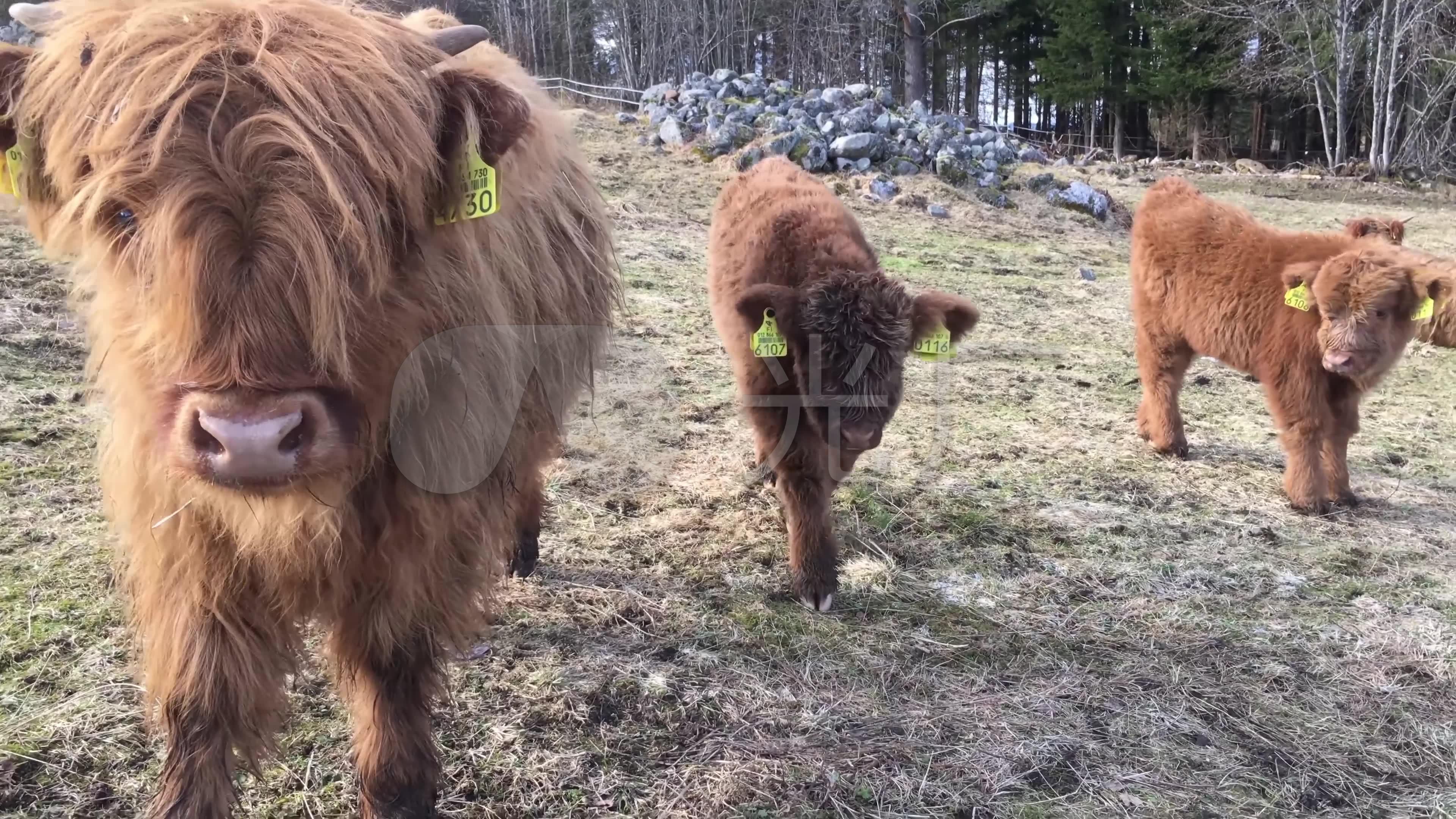 苏格兰高地牛芬兰牧场牛犊养殖畜牧业