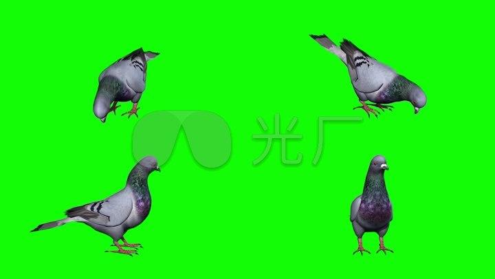 素材信鸽通道抠图特效鸽子鸟鸽子alpha透明通道鸽子动物合成素材后期蜘蛛侠日语版v素材图片