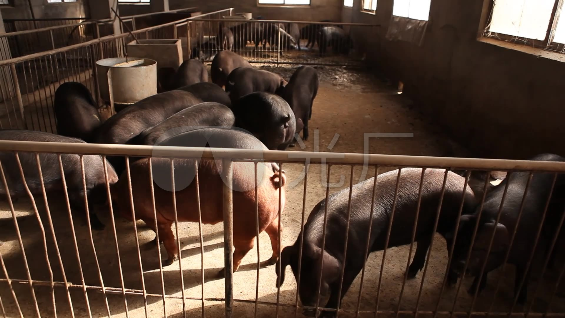 黑豬實拍高清素材_1920x1080_高清視頻素材下載(編號