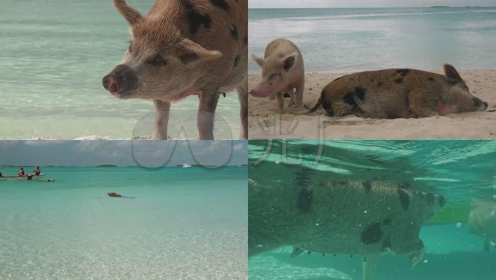 会游泳的猪图片