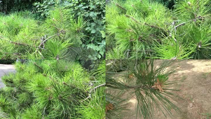 实拍植物松树针叶松图片