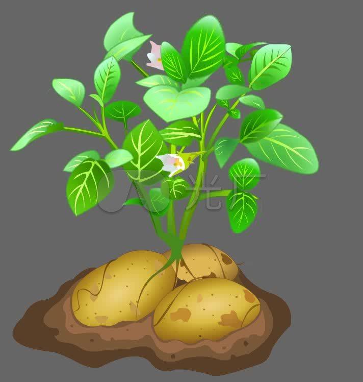 卡通土豆生长植物可抠像素材图片