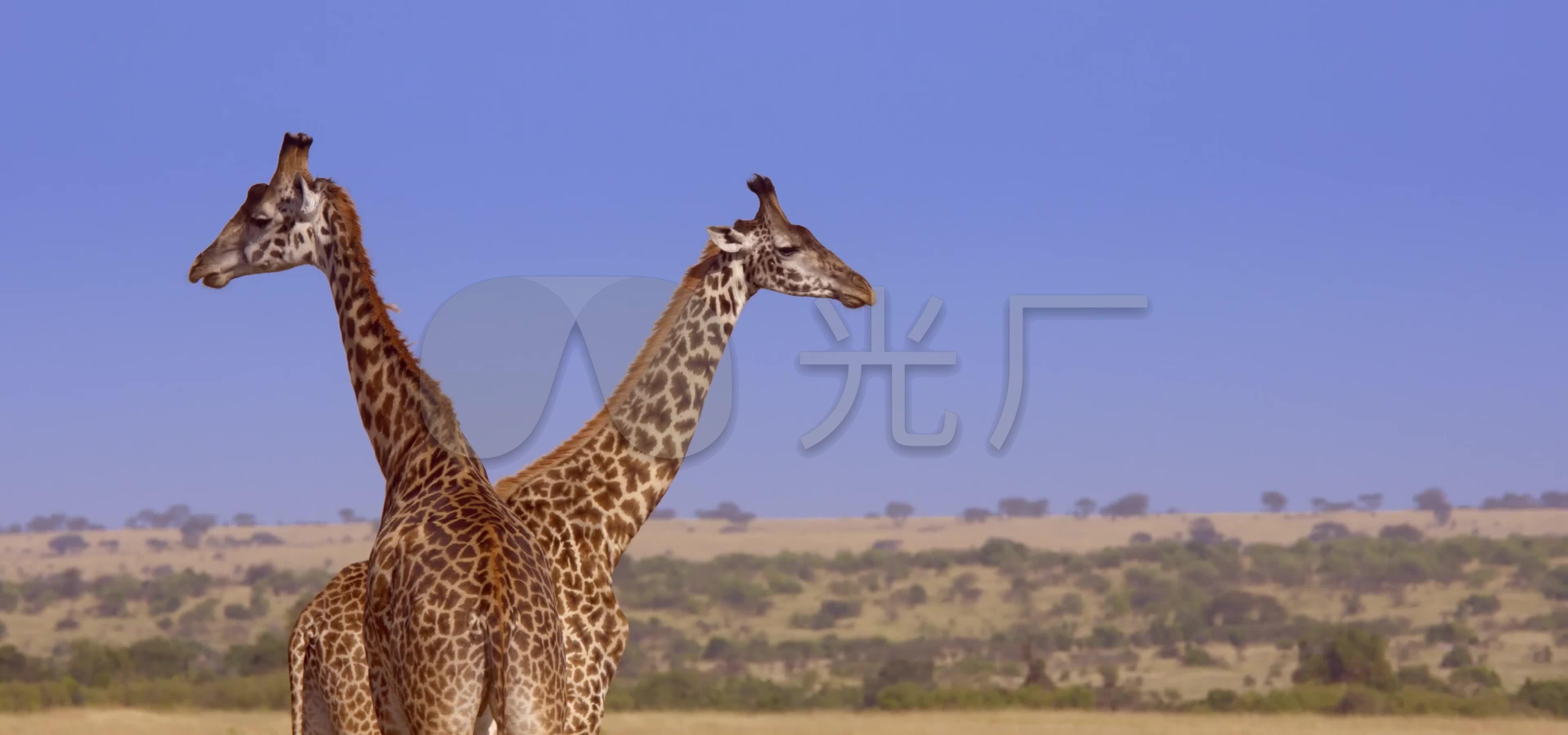 非洲大草原动物世界自然生态环境4k实拍