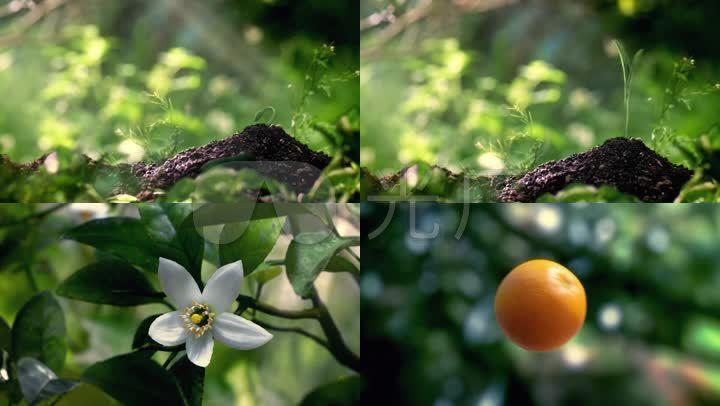 三维动画小树苗生长橙子生长开场片头