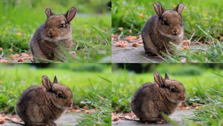 花园小兔子灰兔子草坪可爱的兔子动物实拍 【声明】vj师网所有原创