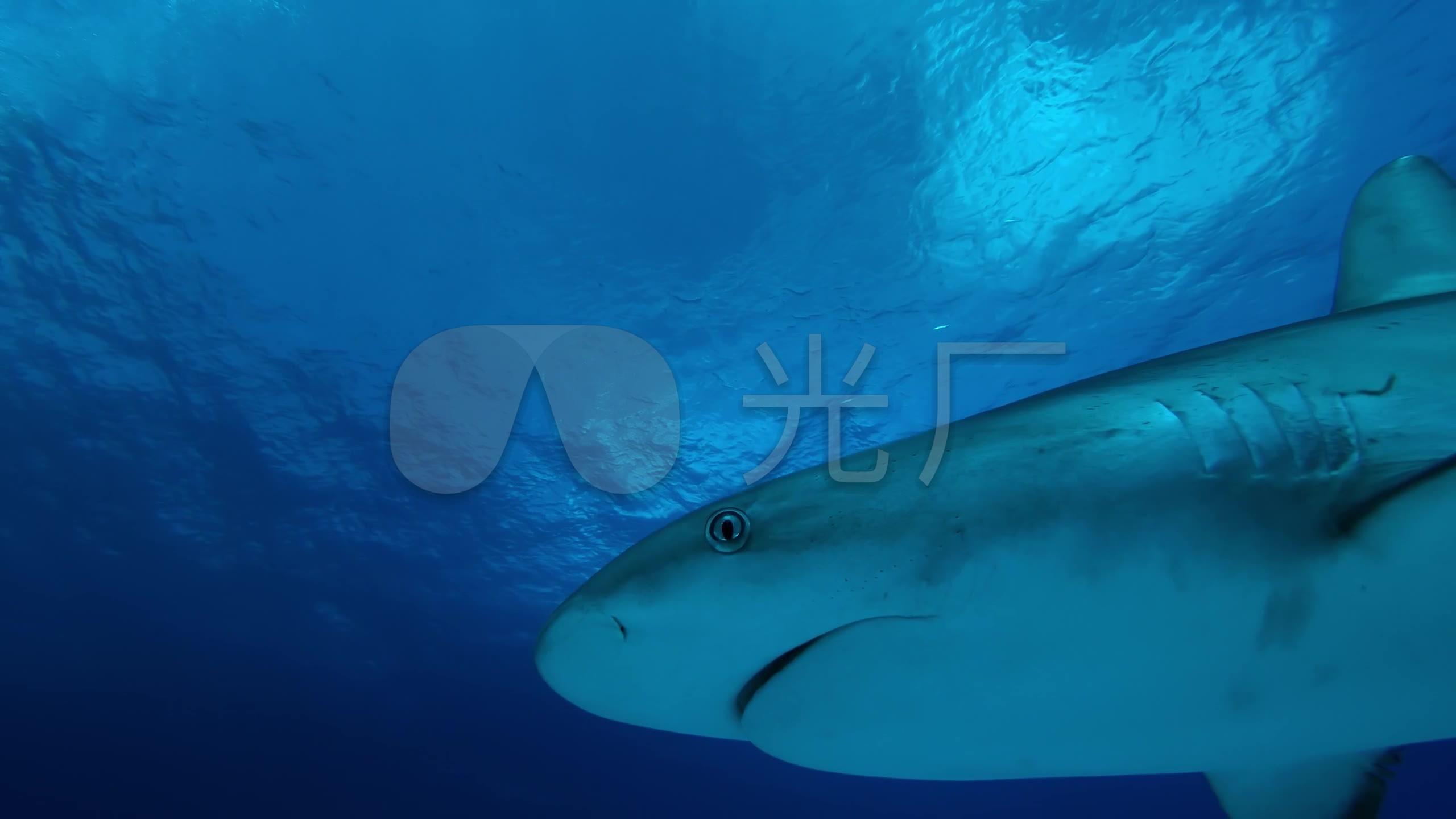 编号鲨鱼_2560X1440_高清视频素材下载(实拍格式艾奇转换器视频图片