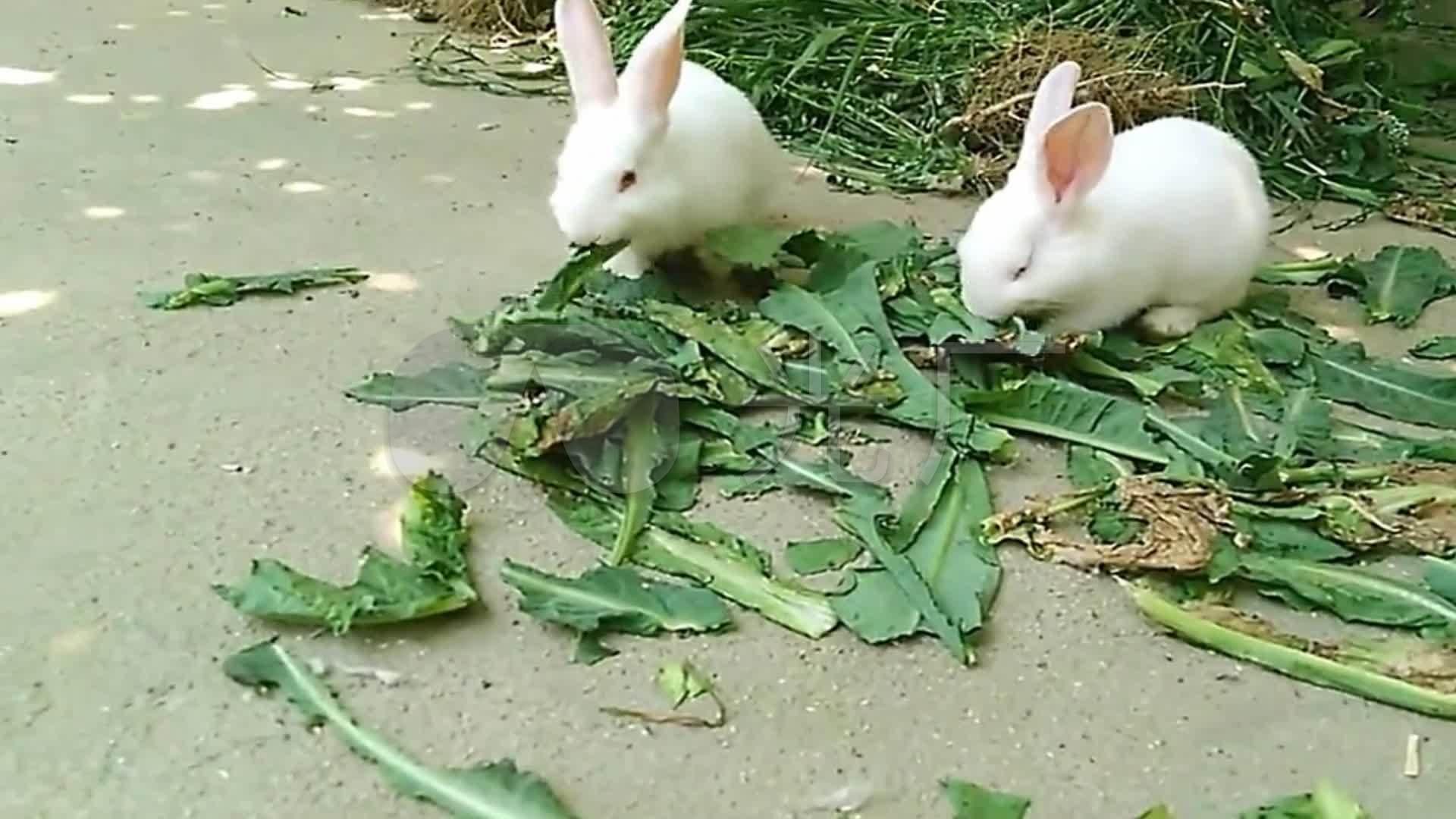 实拍动物小白兔吃菜吃食视频_1920X1080_高