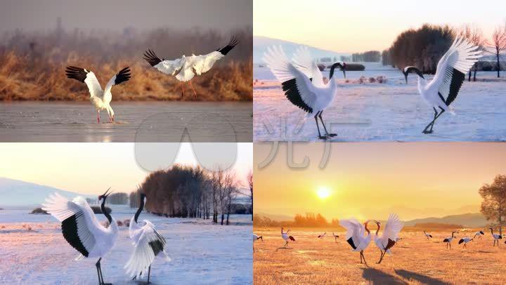 丹顶鹤国家保护动物仙鹤鸟自然保护区自然翅膀 【声明】vj师网所有