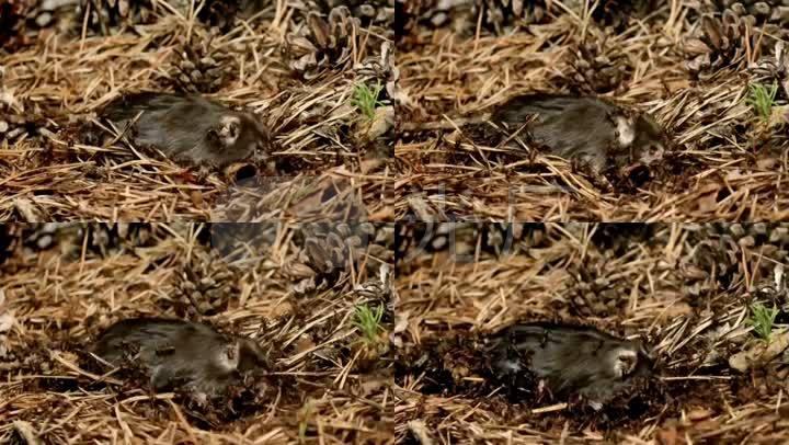 延时v蚂蚁蚂蚁动物自然昆虫吃食大熊猫桌面壁纸高清图片