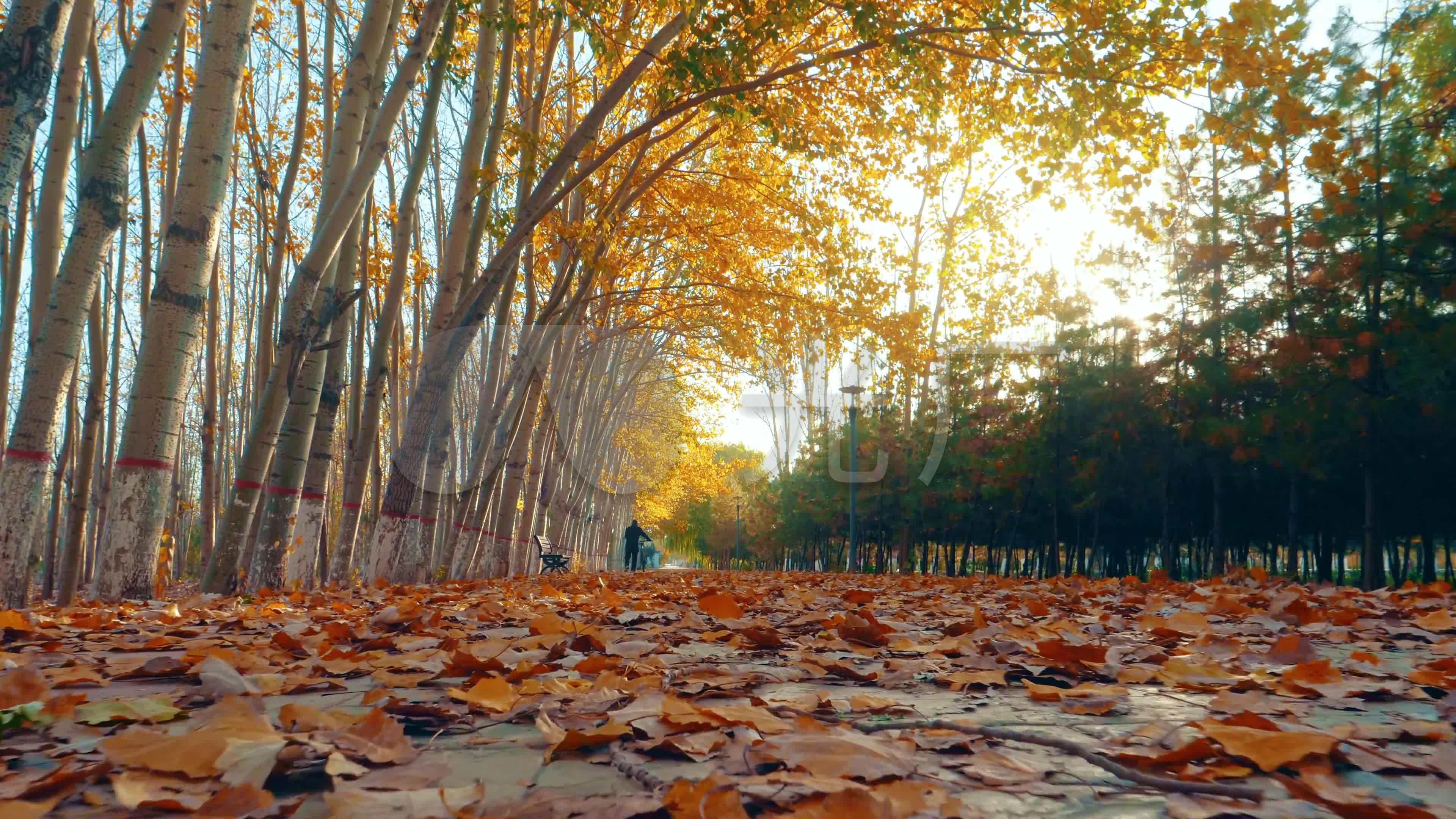 秋天清晨公园里树叶都是金黄色4k素材
