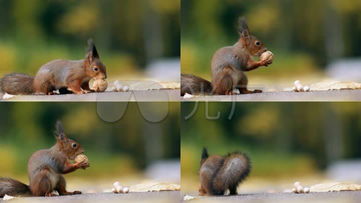可爱小松鼠觅食