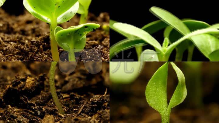 种子发芽植物生长视频素材_1920x1080_高清视频素材(: