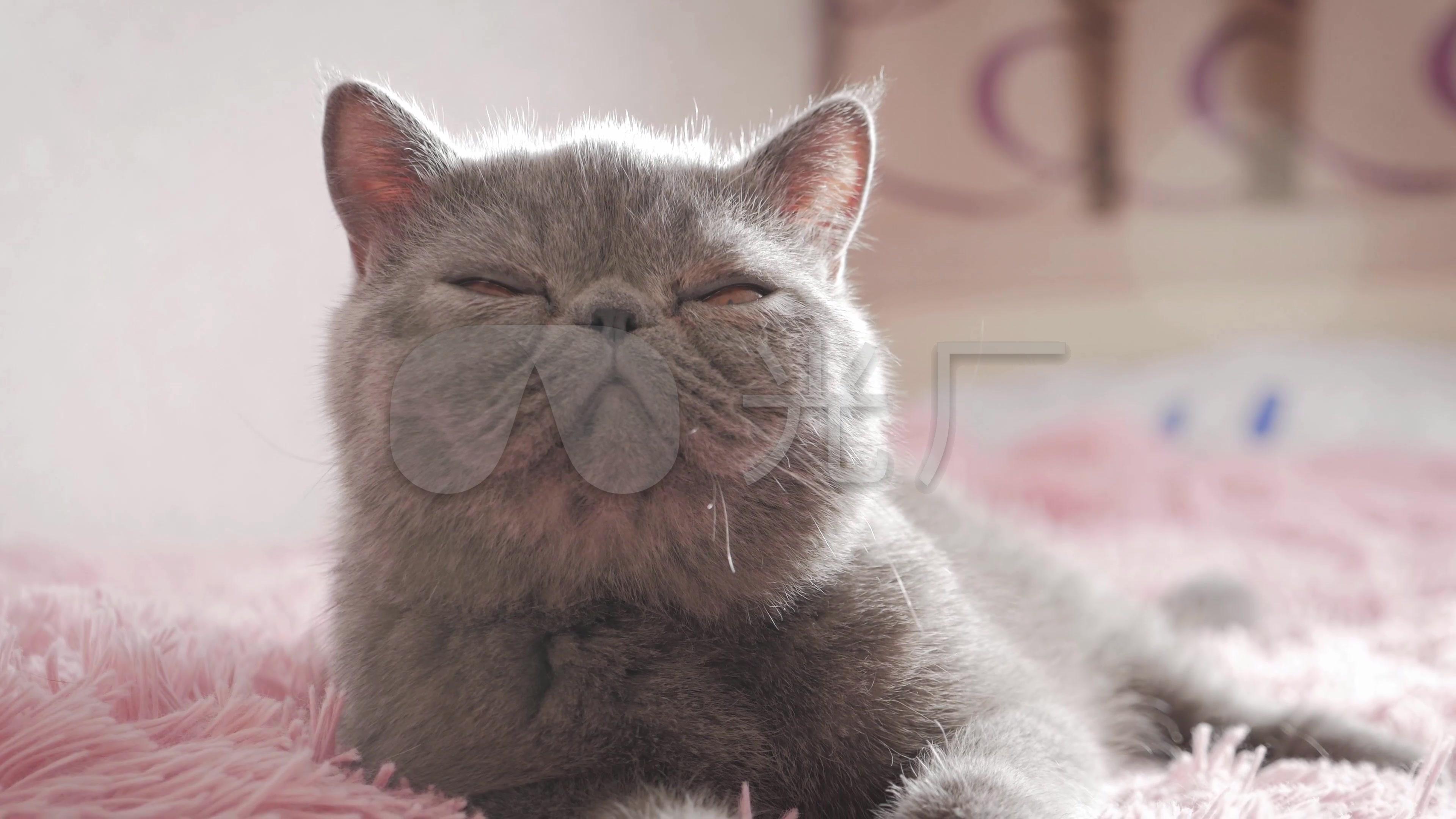 4K慵懒特写加菲猫可爱视频逗猫猫咪视频_宠物万人千镜头课图片